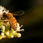 29 juin : A la découverte des abeilles